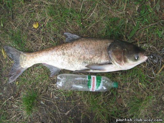 толстолоб рыба фото